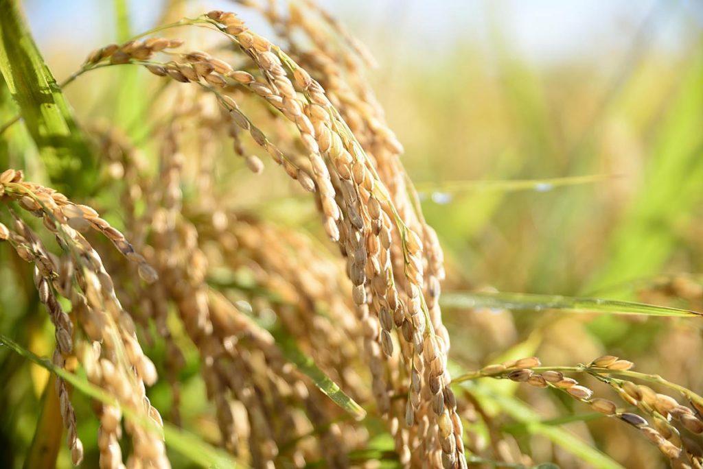 稲刈り・収穫体験
