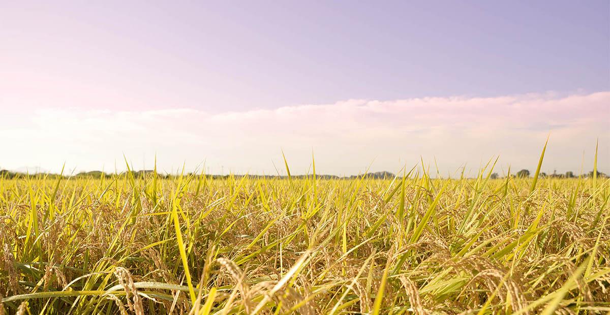 豊作の吉田村の田園風景